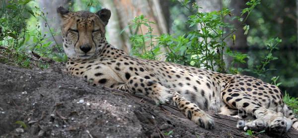 Photograph - Sleeping Cheetah by Meg Rousher