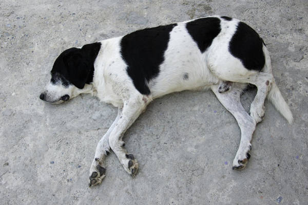 Photograph - Sleeping Dog Lying On The Ground by Matthias Hauser