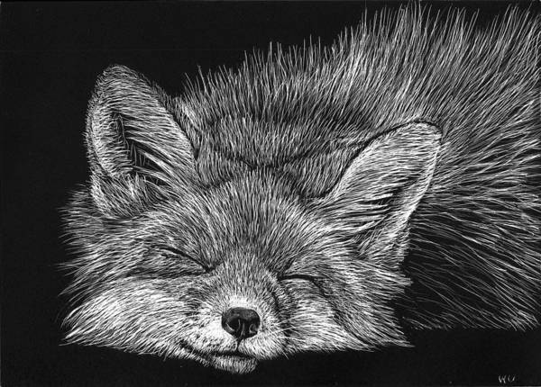 Drawing - Sleeping Fox by William Underwood