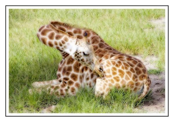Photograph - Sleeping Giraffe by Alice Gipson