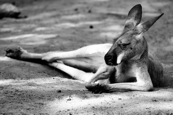 Skippy Wall Art - Photograph - Sleeping Kangaroo Black And White by Pati Photography