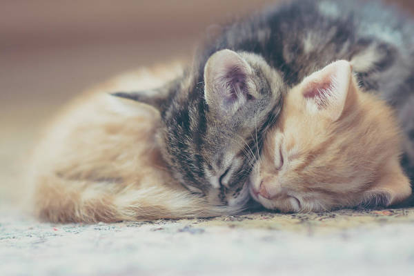 Pet Care Photograph - Sleeping Kittens by Harpazo hope