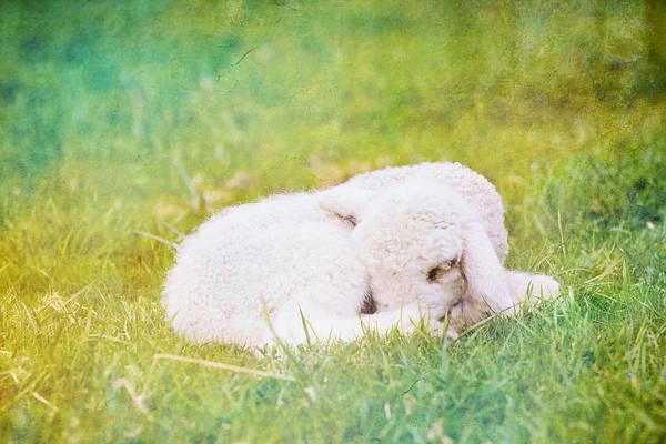 Wall Art - Photograph - Sleeping Lamb Green Hue by Pati Photography