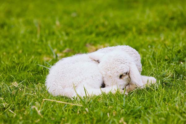 Wall Art - Photograph - Sleeping Lamb by Pati Photography