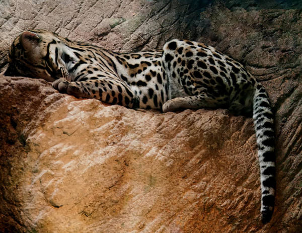 Photograph - Sleeping Ocelot by Chris Flees
