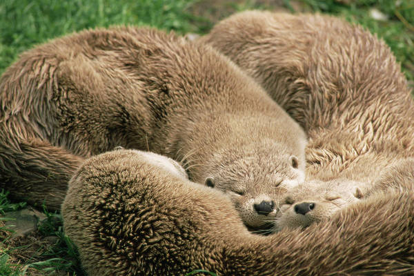 Wall Art - Photograph - Sleeping Otters by Duncan Shaw/science Photo Library