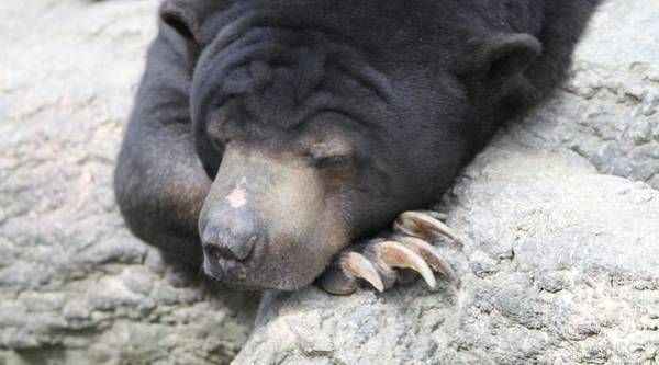 Photograph - Sleeping Sun Bear by Dan Sproul