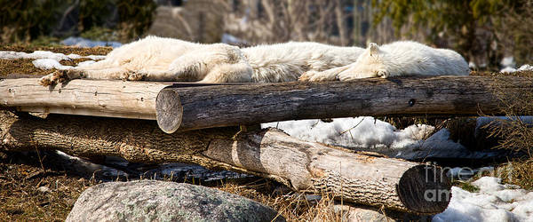 Photograph - Sleeping Wolves On Logs - Like Logs by Les Palenik