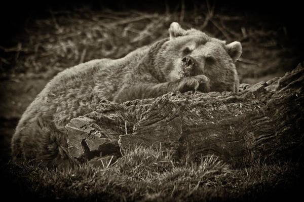 Photograph - Sleepy Bear by Chris Boulton