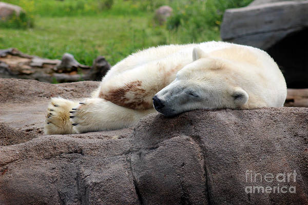 Photograph - Sleepy Bear by Karen Adams