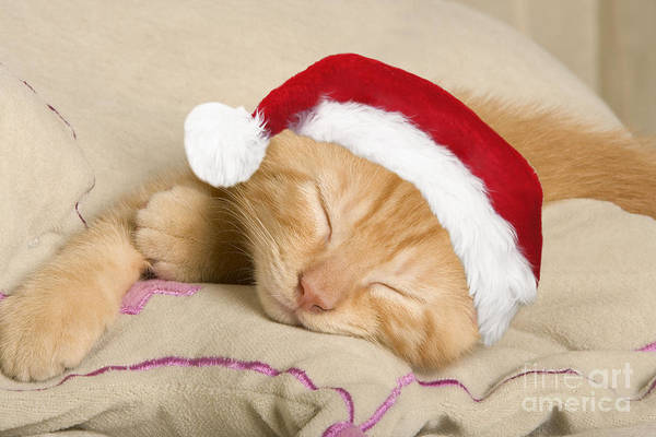 Orange Tabby Photograph - Sleepy Christmas Kitten by Jean-Michel Labat