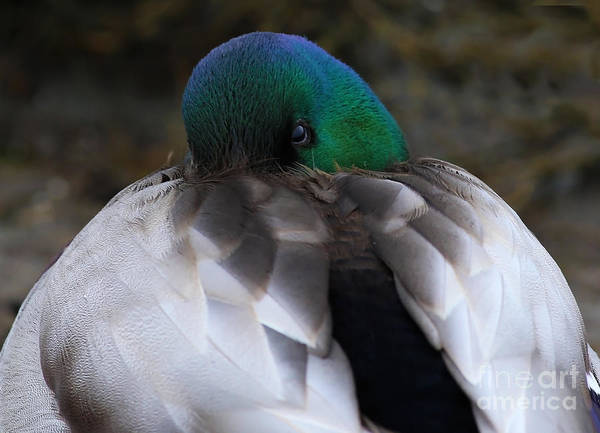 Painting - Sleepy Mallard by Sue Harper