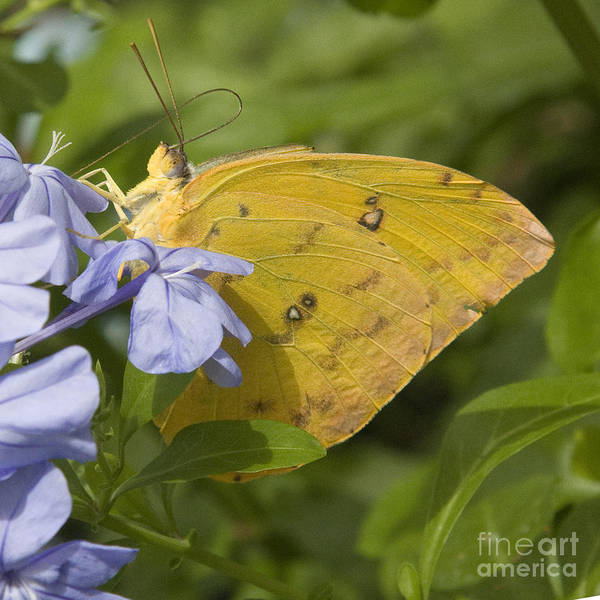 Photograph - Sleepy Orange Butterfly by Chris Scroggins