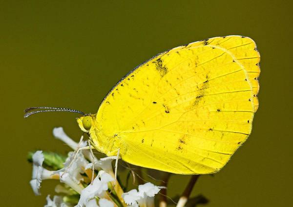 Sulfur Butterfly Wall Art - Photograph - Sleepy Orange Sulfur Butterfly by Millard H. Sharp