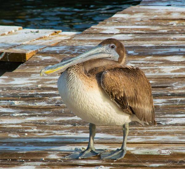 Photograph - Sleepytime Pelican II by Susan Molnar