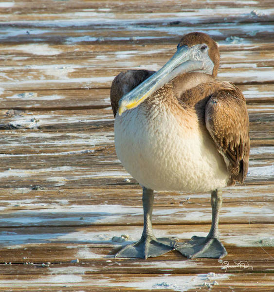 Photograph - Sleepytime Pelican I by Susan Molnar