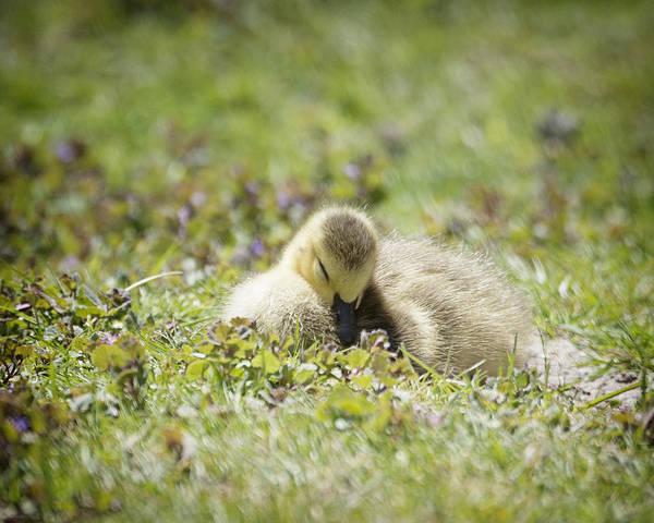 Gosling Photograph - Sleepytime by Vicki Jauron