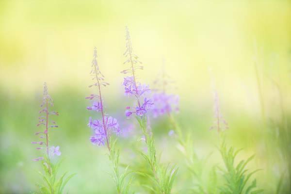 Hessen Photograph - Slender Fireweed by Andy-Kim Moeller