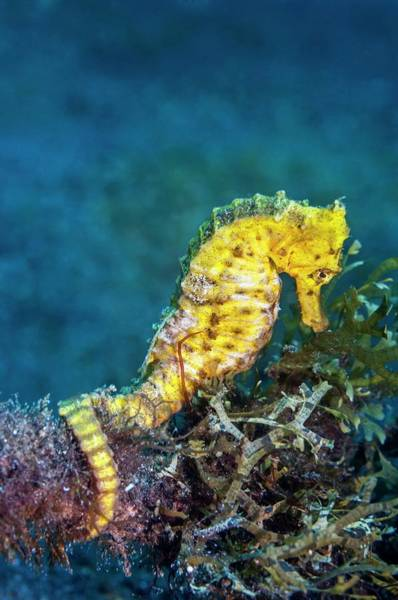 Wall Art - Photograph - Slender Sea Horse by Georgette Douwma/science Photo Library