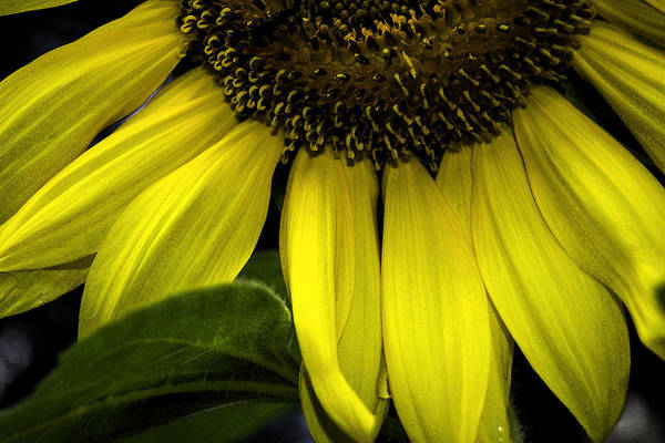 Photograph - Slice Of A Sunflower by Judy Hall-Folde
