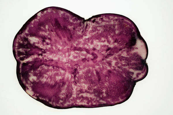 Vegies Photograph - Slice Of A Truffle Potato, Backlit by Foodcollection