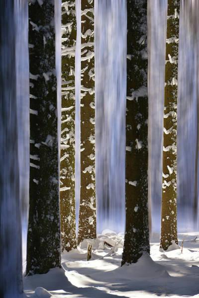 Pine Tree Photograph - Slice Of Pine Tree by Philippe Sainte-laudy Photography