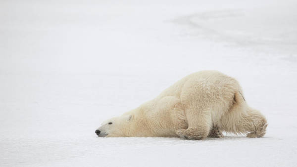 Polar Photograph - Sliding Bear by Alessandro Catta