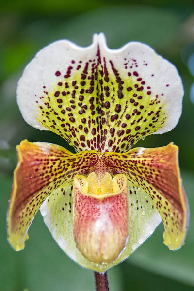 Photograph - Slipper Orchid by Jemmy Archer