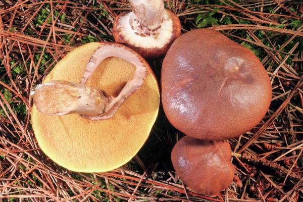 Buns Photograph - Slippery Jack (suillus Luteus) Fungus by John Wright/science Photo Library