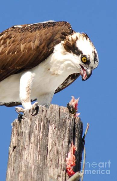 Fish Eagle Photograph - Sloppy by Quinn Sedam