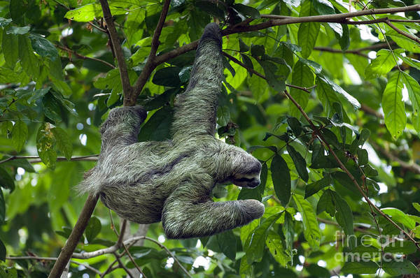 Photograph - Sloth 8 by Arterra Picture Library