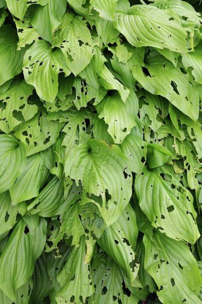 Wall Art - Photograph - Slug And Snail Damage To Hosta by Geoff Kidd/science Photo Library