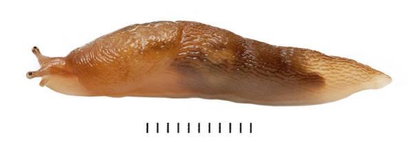 Wall Art - Photograph - Slug by Natural History Museum, London