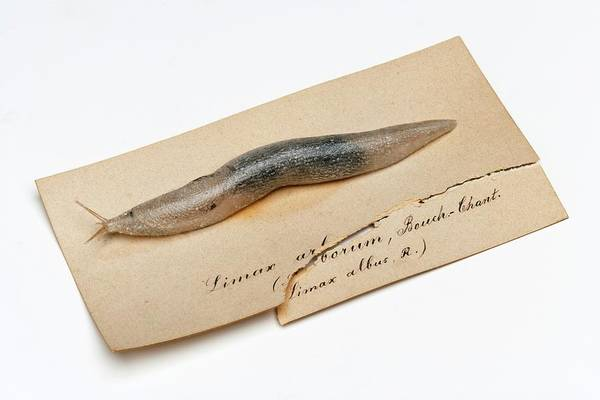 Anatomical Model Wall Art - Photograph - Slug by Ucl, Grant Museum Of Zoology