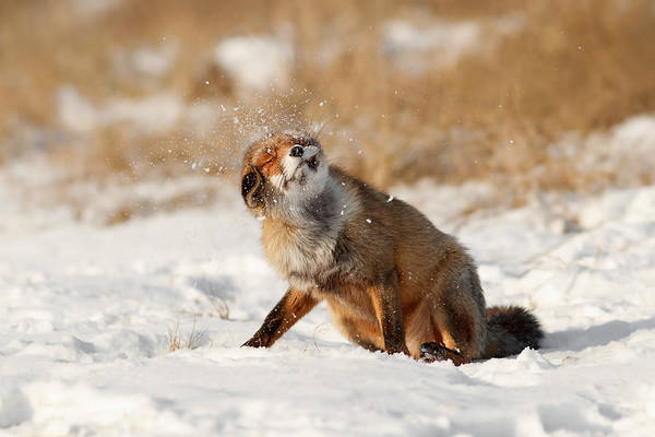 Flake Photograph - Slush Puppy Red Fox In The Snow by Roeselien Raimond