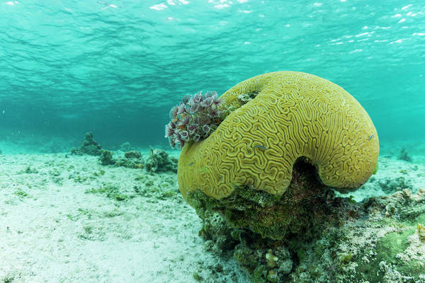 Wall Art - Photograph - Small Brain Coral Near Staniel Cay by James White
