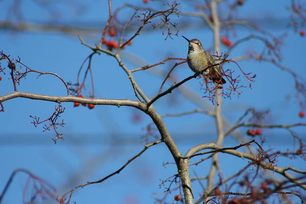 Photograph - Small Yet Mighty - Hummingbird In Tree - Nature by Quin Sweetman