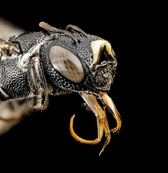 Image Stacking Photograph - Small Carpenter Bee by Us Geological Survey