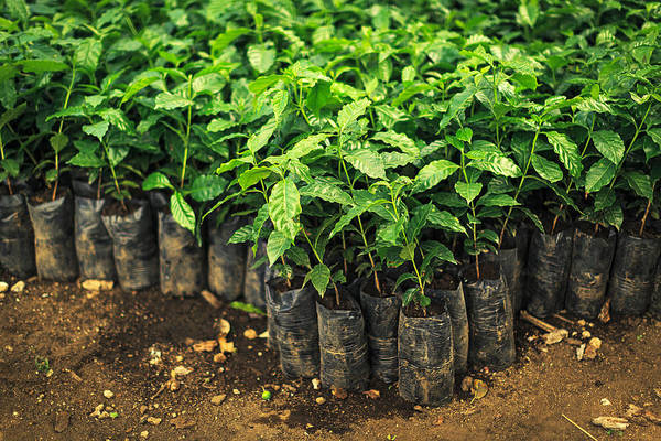 Growth Photograph - Small Coffee Trees by Thepalmer