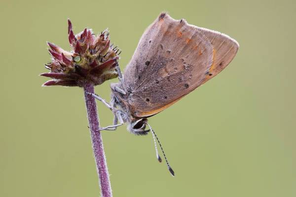 Imago Photograph - Small Copper Butterfly by Heath Mcdonald