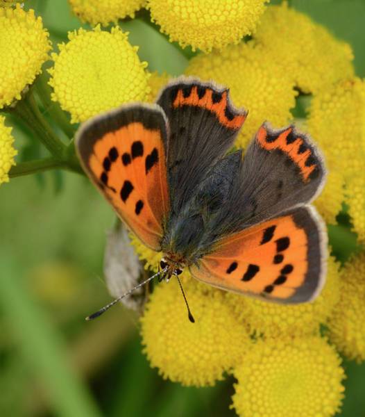 Entomological Photograph - Small Copper Butterfly by Nigel Downer