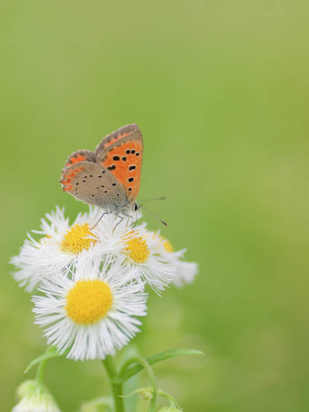 Insect Photograph - Small Copper Butterfly by Polotan