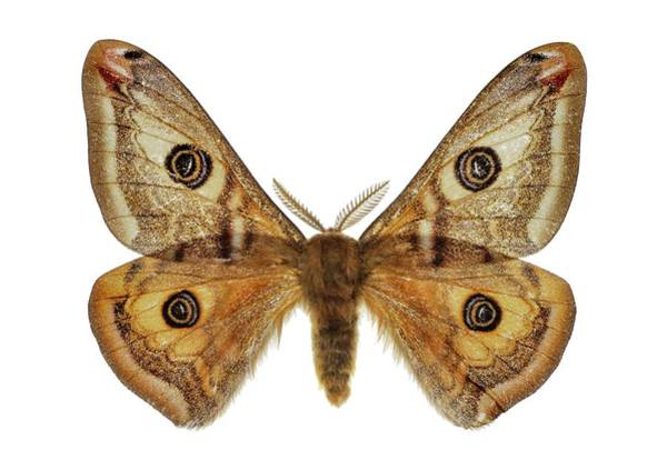 Metamorphosis Photograph - Small Emperor Moth by F. Martinez Clavel