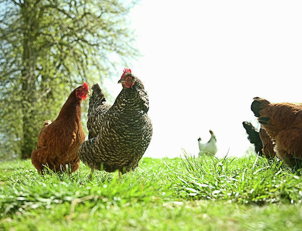 Environmental Issues Photograph - Small Group Of Free Range Hens by Seb Oliver