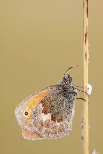 Heath Photograph - Small Heath Butterfly by Heath Mcdonald/science Photo Library