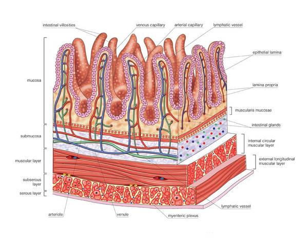 Anatomical Wall Art - Photograph - Small Intestine by Asklepios Medical Atlas