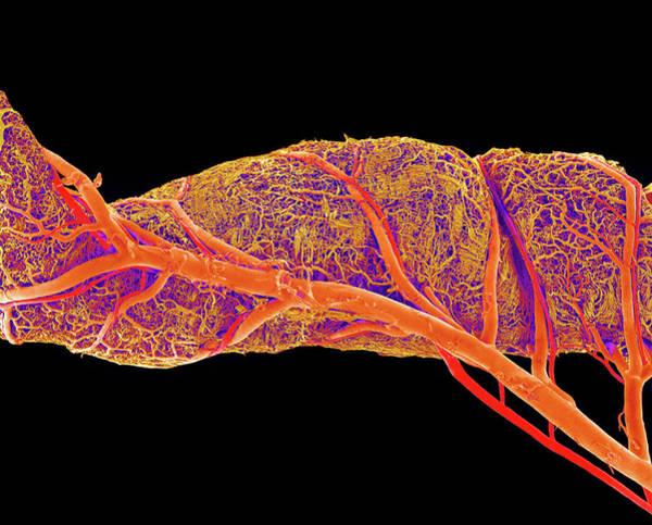 Circulation Wall Art - Photograph - Small Intestine Blood Vessels by Susumu Nishinaga