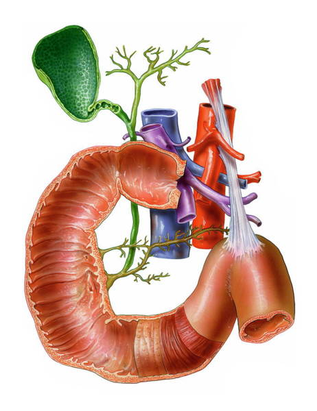 Common Bile Duct Photograph - Small Intestine by Bo Veisland/science Photo Library