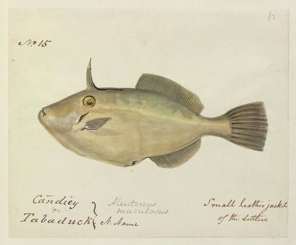 Wall Art - Photograph - Small Leatherjacket Fish by Natural History Museum, London/science Photo Library