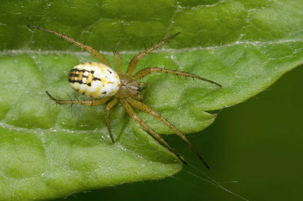 Arachnids Wall Art - Photograph - Small Orb-web Spider by Nigel Downer